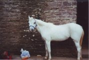 Found this picture of my first loan pony; a grey pony from the riding school who was cold backed and couldn`t carry much weight, she was called Filly. Her head was tiny! That blue headcollar was foal sized! But such a cutie; even when I`d moved onto my own horses she always used to whinny to me in the field :D